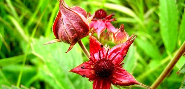 Цветы сабельника