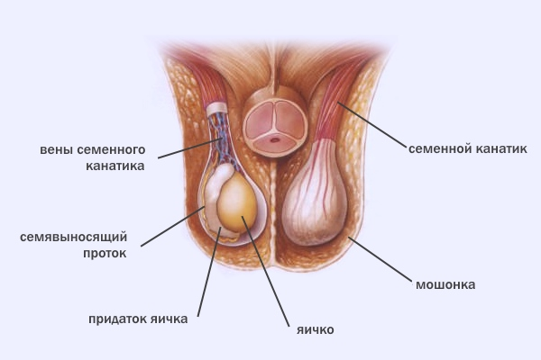 Связь простуда левой почки боль в левом яичке и количество спермы